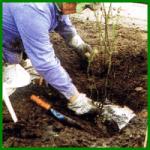 Anpflanzen von Rosen mit der richtigen Pflanzmethode