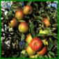 Apfelbaum im Garten Einpflanzen und Pflegen