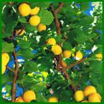 Aprikosen enthalten von allen Steinobstarten die meisten Mineralstoffe