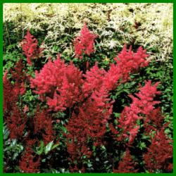 Astilben, zarte Blütenrispen in leuchtenden Farben