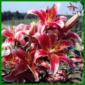 Aurelian-Hybriden lieben sonnige und warme Plätze, vermeiden Sie Staunässe