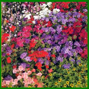 Aussaat von Sommerblumen ohne Vorkultur