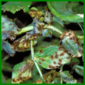 Bakterienkrankheiten bei Pflanzen