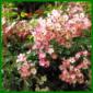 Strauchrose Ballerina mit zartrosa Blütenbüscheln