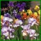 Bartiris, eine elegante Irisart, die Sortenfülle ist sehr groß