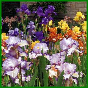 Bartiris, eine elegante Irisart in vielen Farben