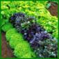 Basilikum, einjährige Gewürzpflanze