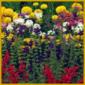 Schnittblumenbeet mit verschiedenfarbigen, einjährigen Pflanzen
