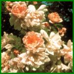 Bibernellrosen - bei uns auch Dünen- oder Reichstachelige Rose genannt