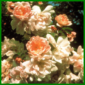 Bibernellrosen – bei uns auch Dünen- oder Reichstachelige Rose genannt
