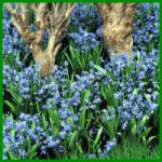 Blausternchen, zierliche Glöckchen