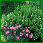 Blühender Kräutergarten, aromatische Blätter und leichte Pflege