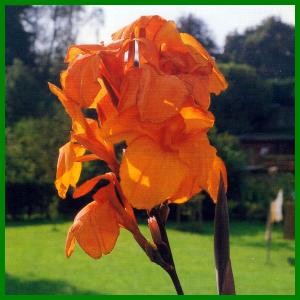 Blumenrohr, dekorativer Blickfang in Beeten