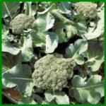 Brokkoli , ein köstliches Gemüse mit viel Vitamin C