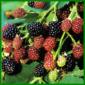 Brombeeren, die aromatischen Sommerfrüchte