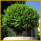 Buchsbaum ist bekannt und beliebt in vielen Gärten