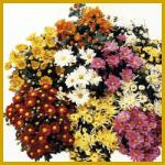 Chrysanthemen, Größe, Wuchs, Vermehrung