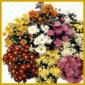 Chrysanthemen , Größe, Wuchs, Vermehrung, Lebensdauer