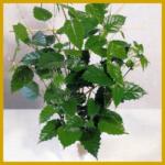 Cissus antarctica, Känguruhwein, Kletterpflanze