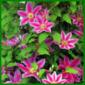 Clematis, eine kräftige Kletterpflanze in allen Farben