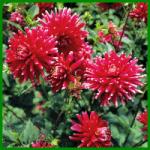 Dahlien, eine Vielfalt an Blütenformen und Blütenfarben