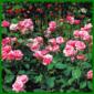 Beetrose Queen Elizabeth, großblumig mit zartem Duft