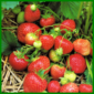 Erdbeeren, köstliche und gesunde Früchte