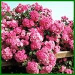 The-Fairy ist eine vielblütige Bodendecker-Rose