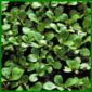 Feldsalat, auch Rapunzel oder Ackersalat genannt