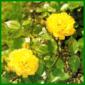 Floribundarosen, reichblühend mit edel geformter Blüte