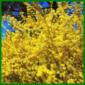 Forsythie, ein leuchtender Frühlingsbote