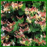 Geißblatt ist eine sehr vielseitige Pflanze