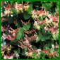 Geißblatt ist eine sehr vielseitige Pflanze, kann 3 bis 6 m hoch werden