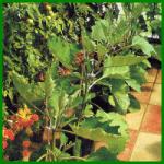 Beetpflanzen im Gewächshaus aus Saatgut ziehen