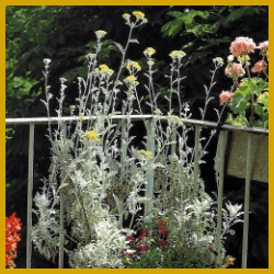 Greiskraut, Sommerblume, einfache Pflege