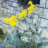 Gelbe Korbblüten