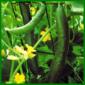 Gurken, nährstoffbedürftiges Fruchtgemüse
