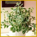 Harfenstrauch, Hängepflanze oder Ampelpflanze