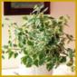 Harfenstrauch, Hängepflanze oder Ampelpflanze mit kurzen Ranken