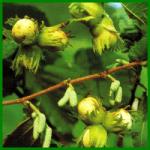 Haselnuss, robuste Sträucher mit Früchten zum Knabbern