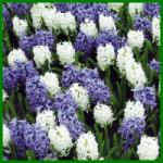 Hyazinthen haben traubenförmige Blütenstände