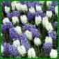 Hyazinthen vertragen keine Staunässe und brauchen nährstoffreichen Boden