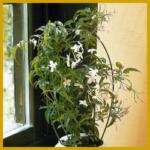 Jasmin, (Jasminum polyanthum) sehr dekorativ
