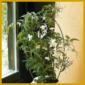 Jasmin, (Jasminum polyanthum) wirkt besonders dekorativ