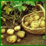 Kartoffeln aus dem eigenen Garten ernten