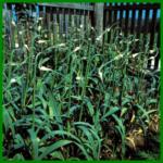 Knoblauch, eine gesunde Gewürzpflanze