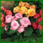 Knollenbegonien erinnern an Rosen, Kamelien oder Nelken
