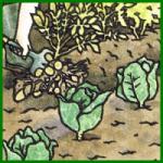 Kohl im eigenen Garten anbauen und pflegen