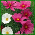 Kosmeen haben margeritenähnliche Schalenblüten