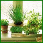 Kräuterpflanzen im Kräutertopf